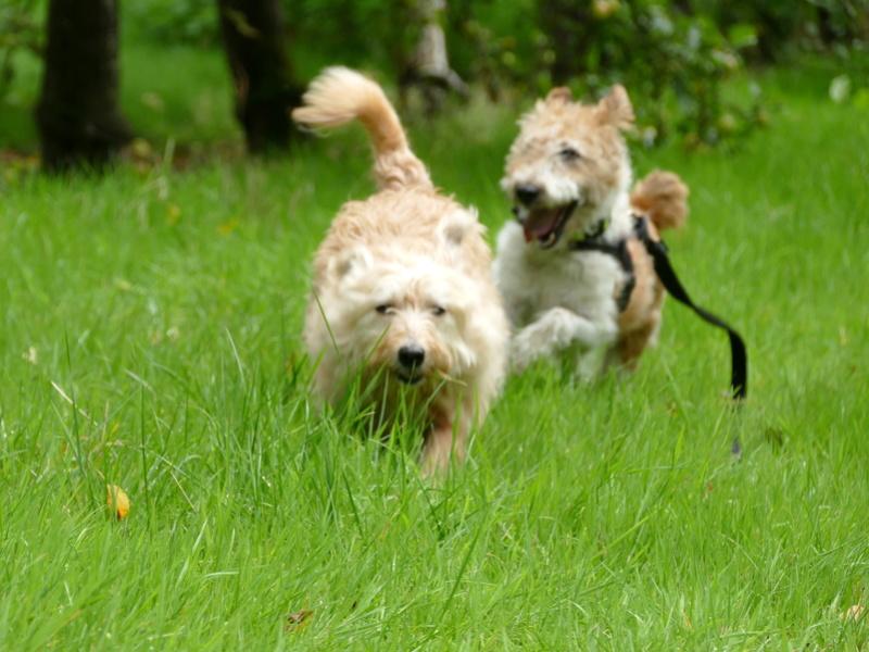 SIRIUS. Mâle fox terrier né en 2007. Adopté en 10/2018  P1060611