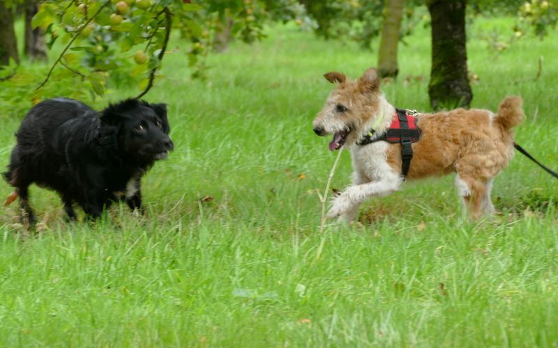 SIRIUS. Mâle fox terrier né en 2007. Adopté en 10/2018  P1060615