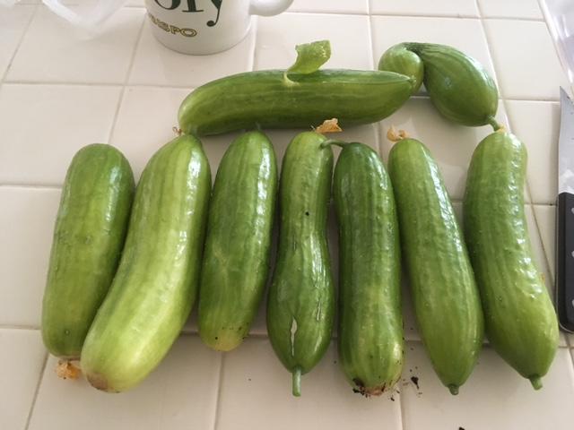 Today's Harvest Cucumb10