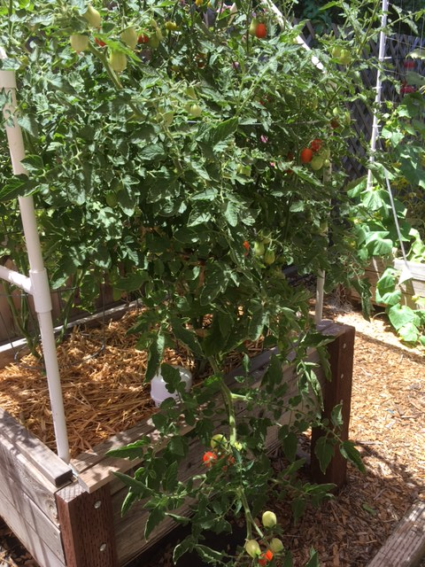 Northern California & Coastal Valleys - What are you doing this month? - Page 3 Tomato12