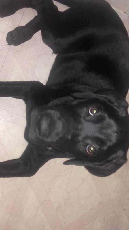 Notre Etoile Sirius 1er chien de la maison (type labrador) - Page 2 20170715