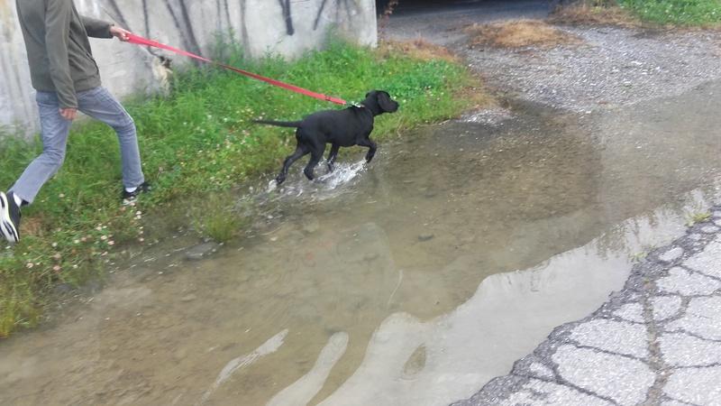 Notre Etoile Sirius 1er chien de la maison (type labrador) - Page 2 20170728