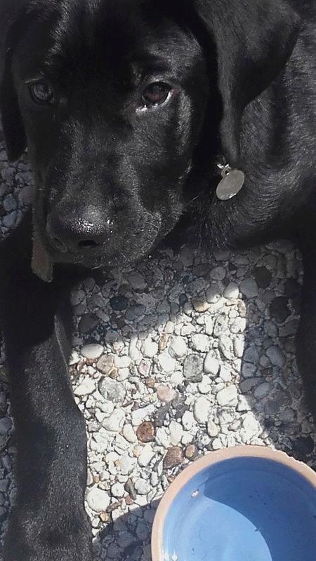 Notre Etoile Sirius 1er chien de la maison (type labrador) Sirius10