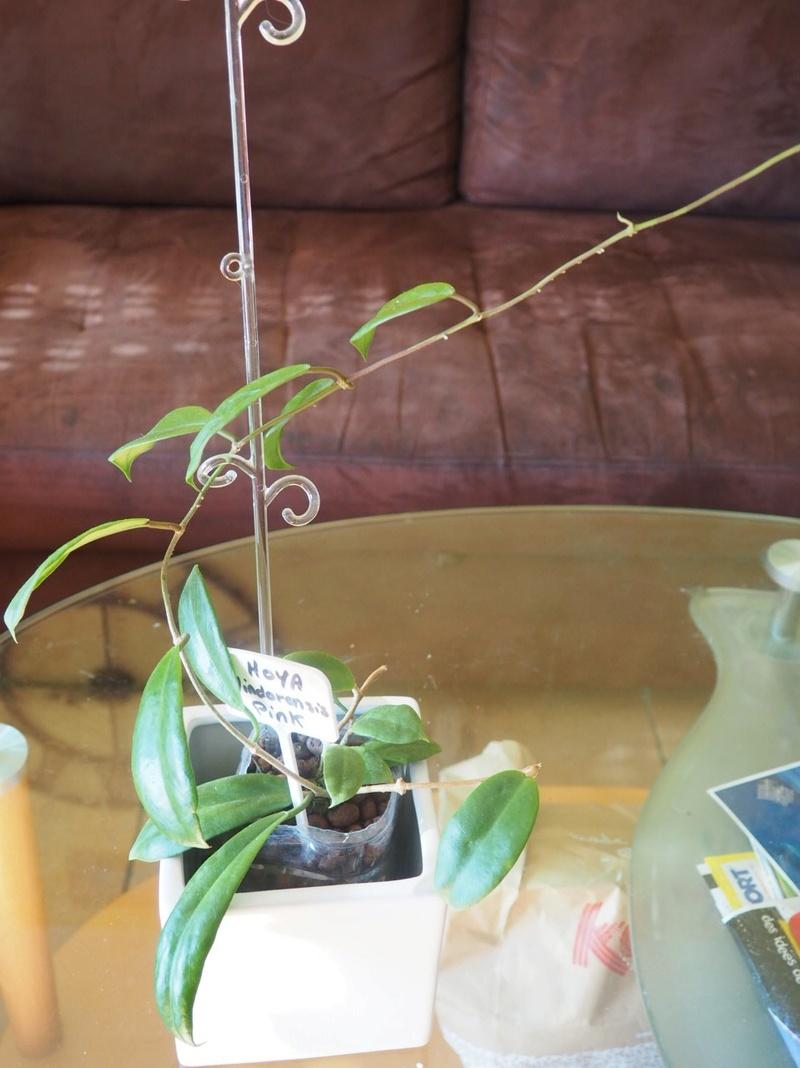 Hoya mindorensis P6240111