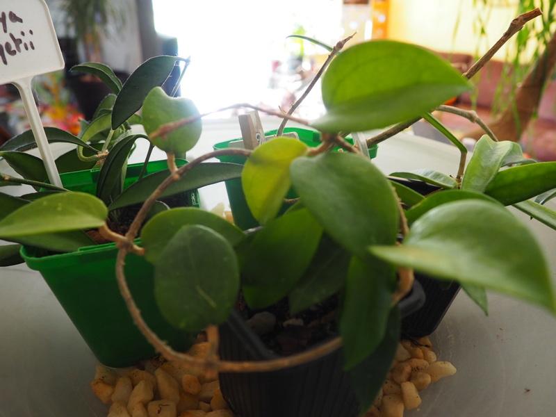 Hoya limoniaca P6240113