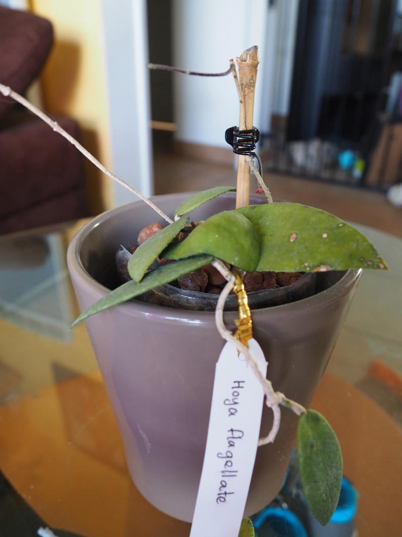 Hoya flagellata P6240211