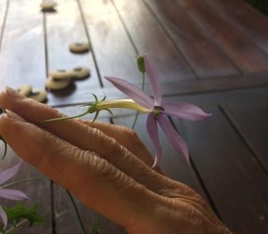 Isotoma axillaris [identification] Fleur10