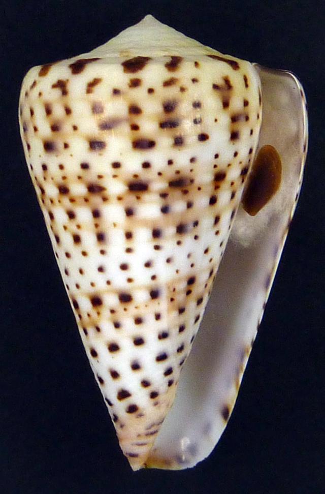 Conus (Kalloconus) siamensis  Hwass in Bruguière, 1792 02427_10