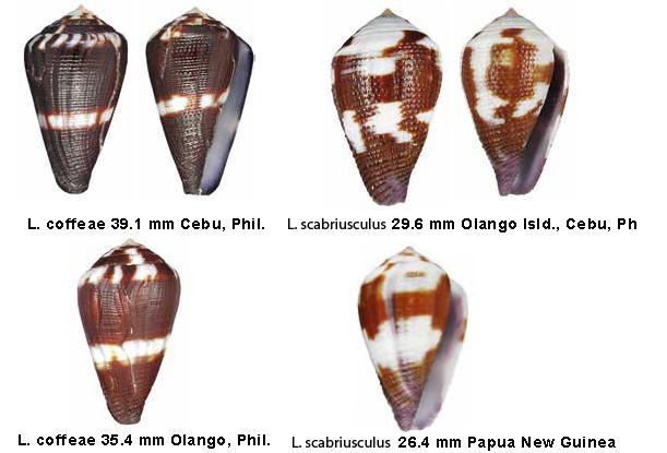 Conus (Leporiconus) scabriusculus  Dillwyn, 1817 - Page 4 Sans_t14