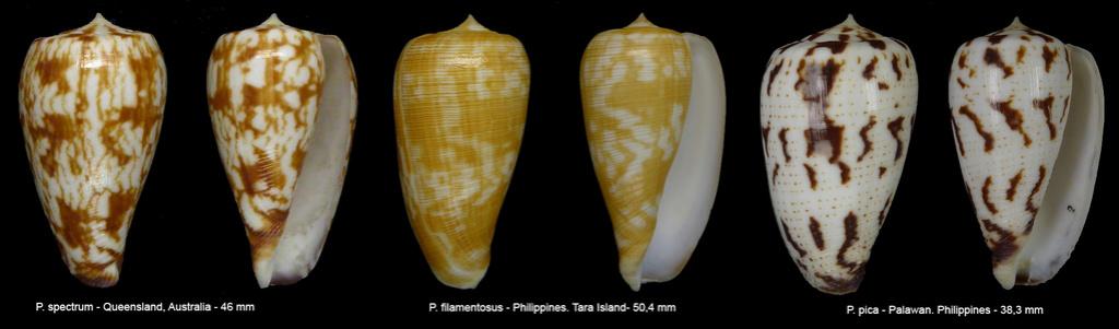 Conus (Phasmoconus) pica   Adams & Reeve, 1848 - Page 2 Sans_t16