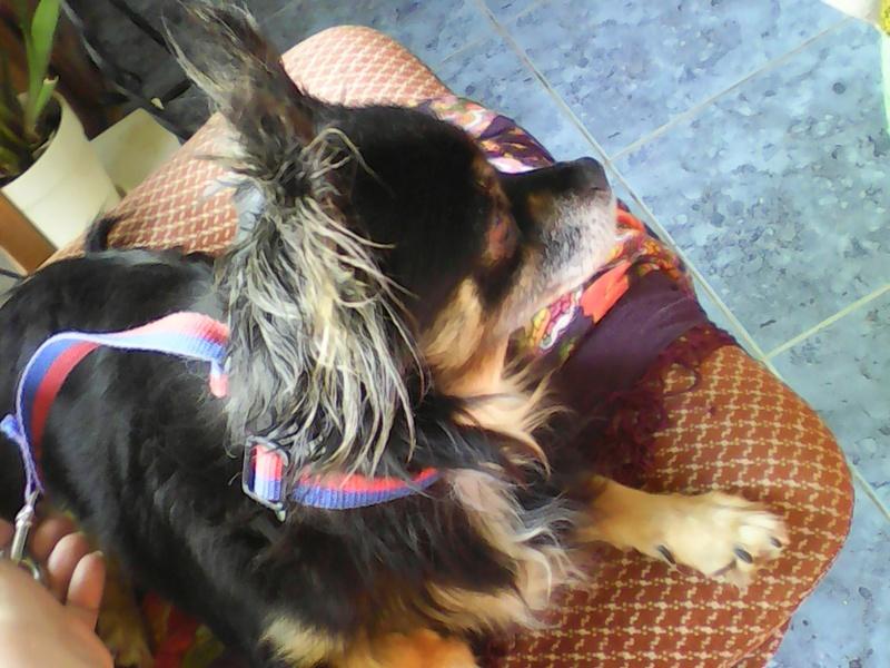 IDYLLE, drôle de vie pour cette Chihuahua de 4 ans !! Img00411