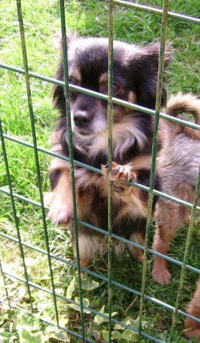 IDYLLE, drôle de vie pour cette Chihuahua de 4 ans !! Ssa56915