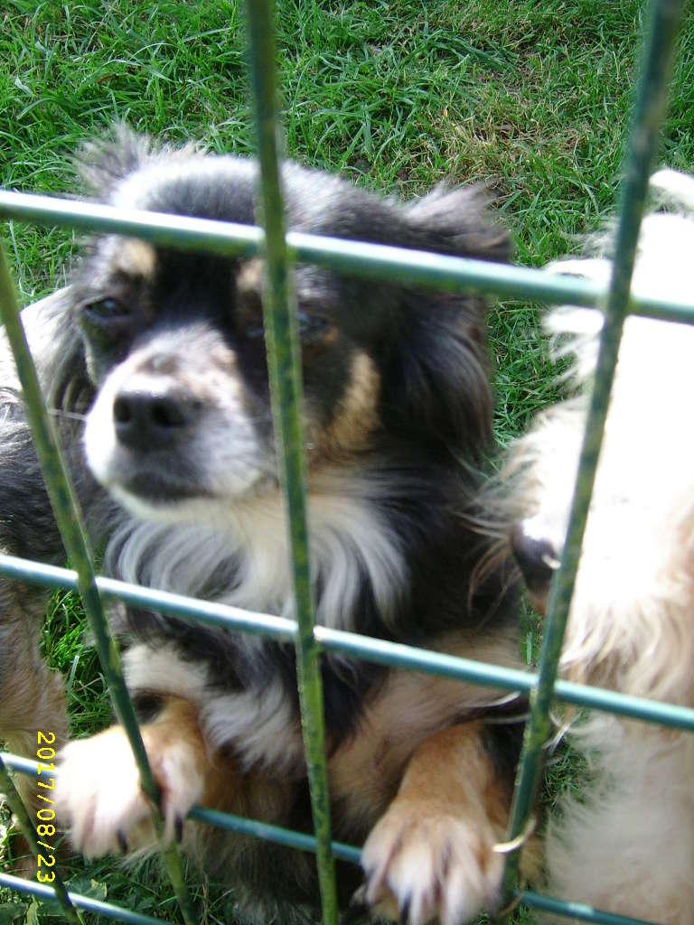 IDYLLE, drôle de vie pour cette Chihuahua de 4 ans !! Ssa56916