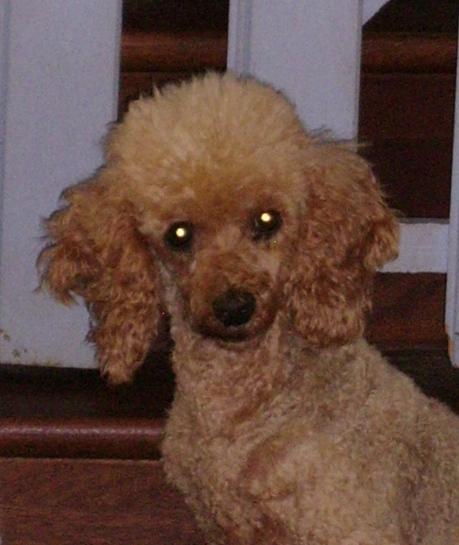 ETOILE, canichette abricot de 8 ans, réformée d'élevage Ssa56917