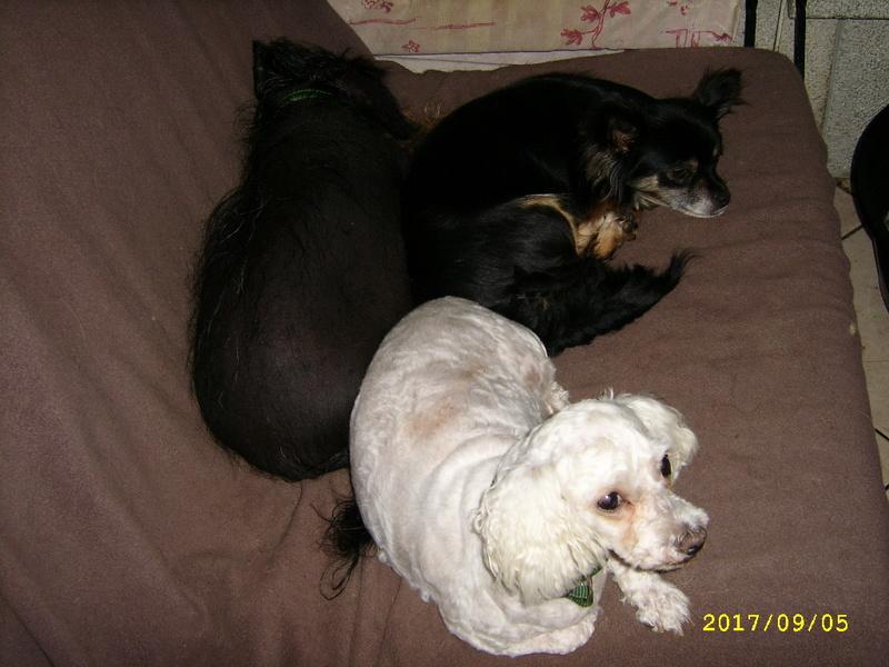IDYLLE, drôle de vie pour cette Chihuahua de 4 ans !! Ssa56920