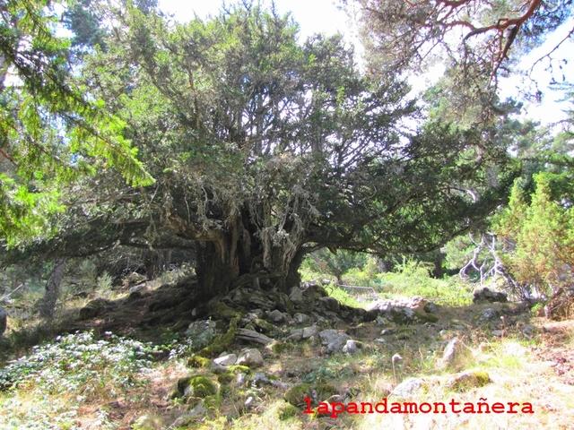 20170805 - EL PINGANILLO - TEJO DEL BARONDILLO 02612
