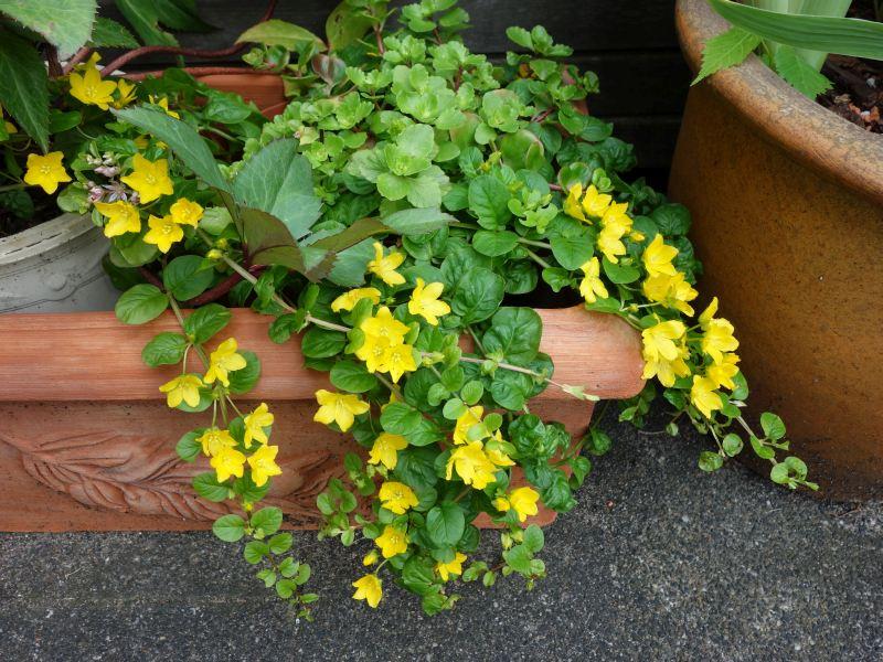 Welche niedrigen, blühenden Pflanzen eignen sich für den ab und zu gemähten Rasen? Dsc06114