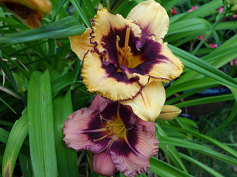 Hemerocallis - Taglilien - Schönheiten im Juni und Juli - Seite 7 Dsc06225
