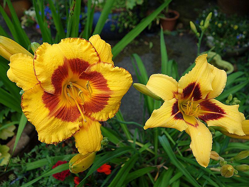 Hemerocallis - Taglilien - Schönheiten im Juni und Juli - Seite 7 Dsc06226