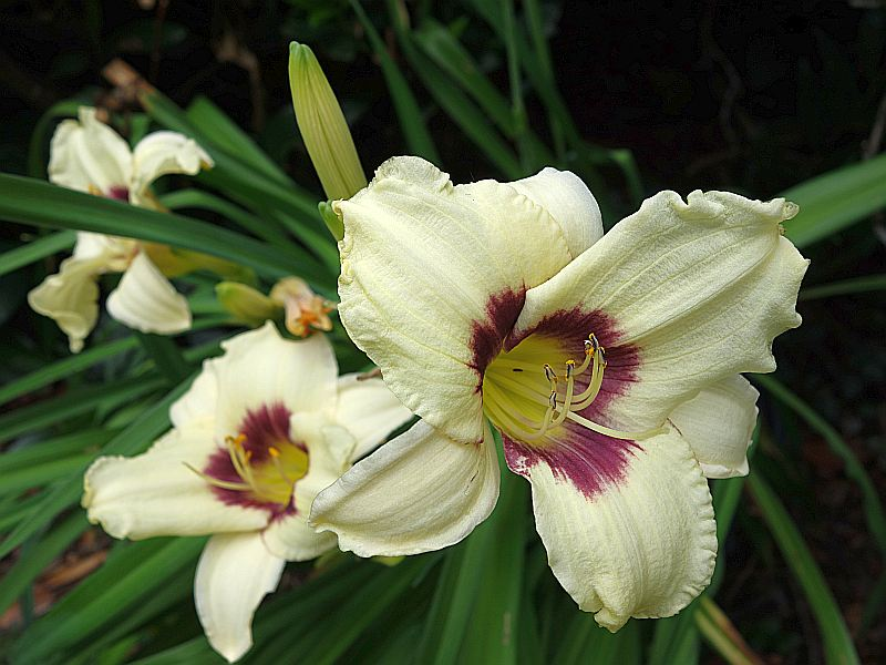 Hemerocallis - Taglilien - Schönheiten im Juni und Juli - Seite 7 Dsc06324