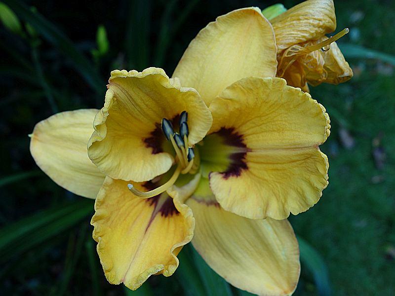 Hemerocallis - Taglilien - Schönheiten im Juni und Juli - Seite 7 Dsc06325