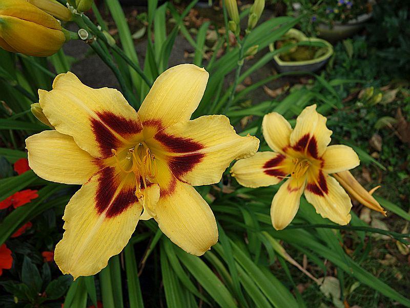 Hemerocallis - Taglilien - Schönheiten im Juni und Juli - Seite 7 Dsc06326