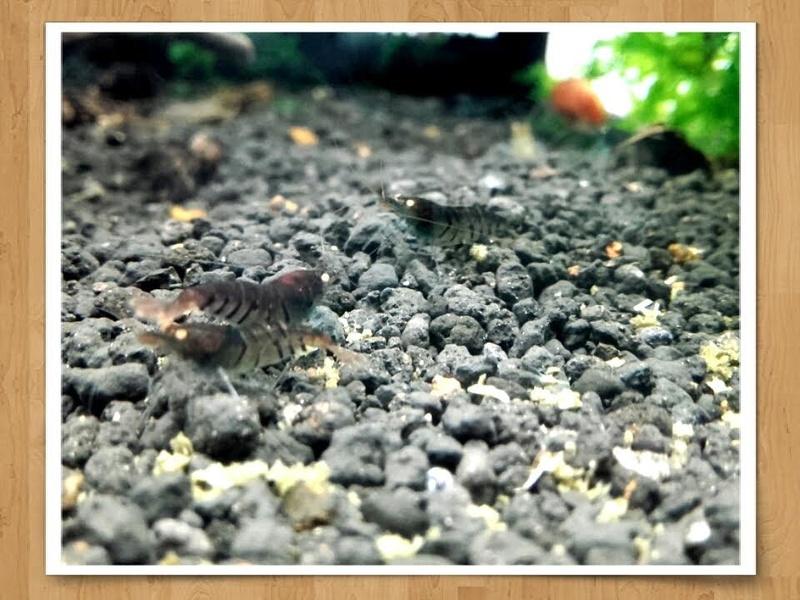 Gozgull Shrimp's - Page 10 Beni10