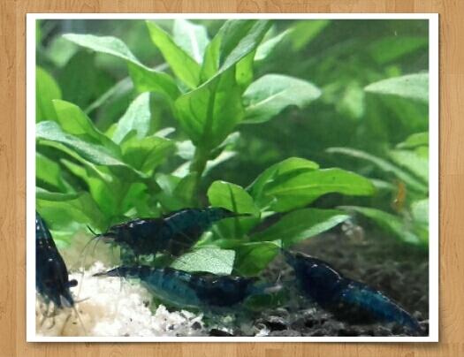 Projet d'un 1er bac à crevettes, conseils bienvenus :)  Bleu_d10