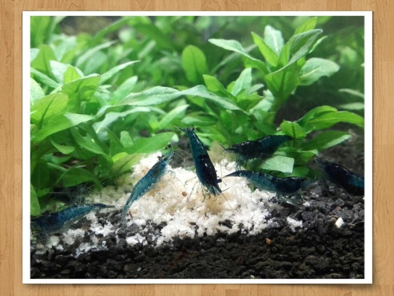[VENDS]Crevette néocaridina et CRS/CBS/snow[78 + ENVOI] - Page 3 Bleu_d12