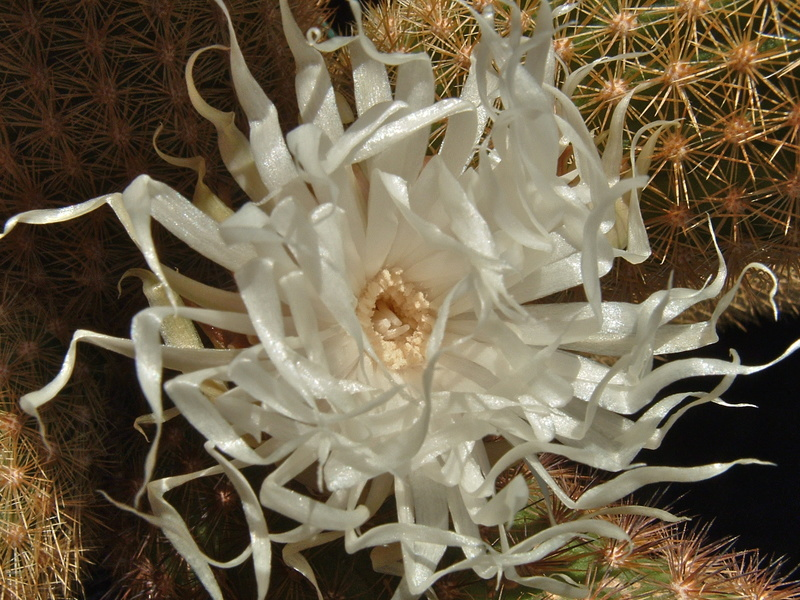 Brachycereus nesioticus Dscf0011