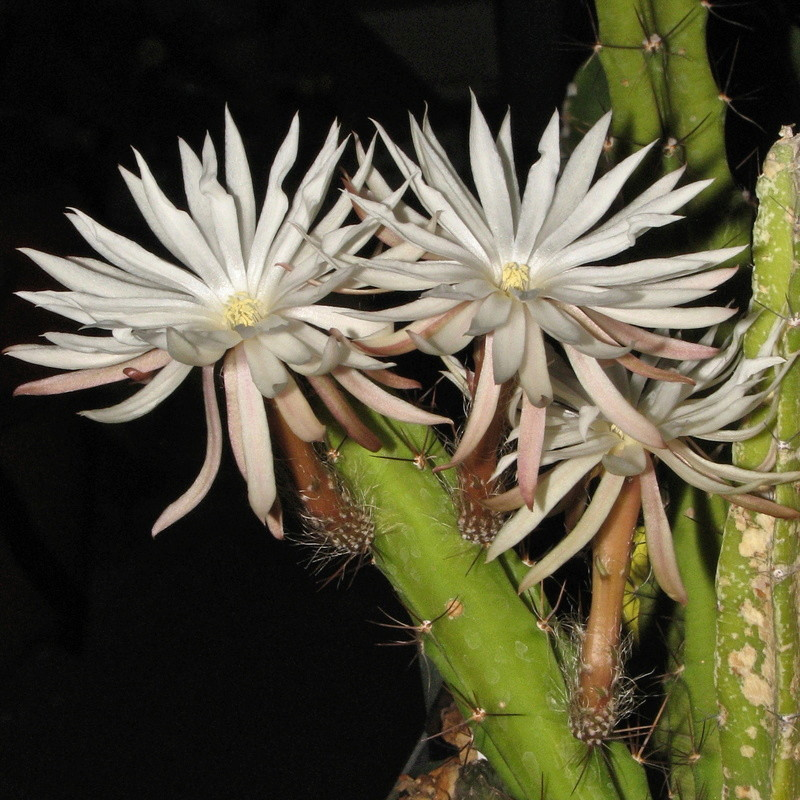 Selenicereus chontalensis Img_0323