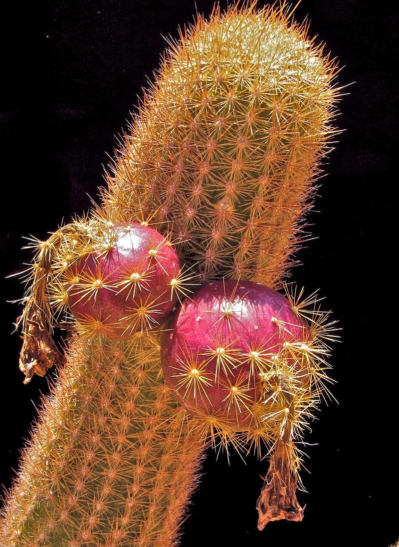 Brachycereus nesioticus Img_2310