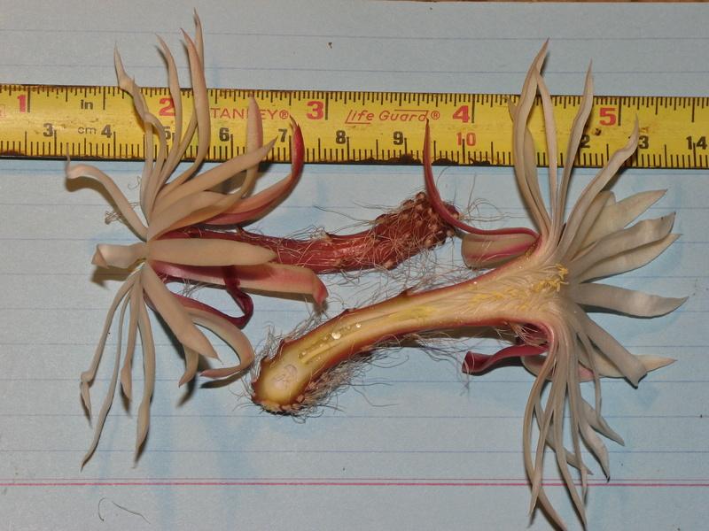 Selenicereus chontalensis Img_7010