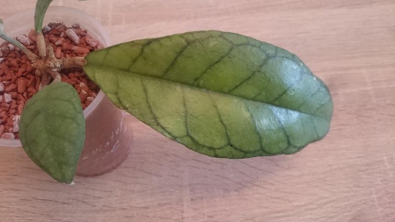 Hoya - Blätter  Fotos  Dsc_0430