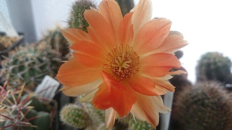 Meine Kakteenblüten Dsc_0516