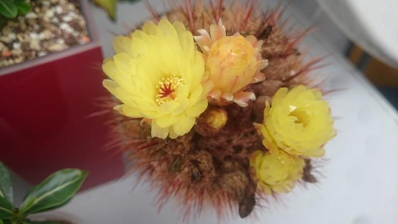 Meine Kakteenblüten Dsc_0529