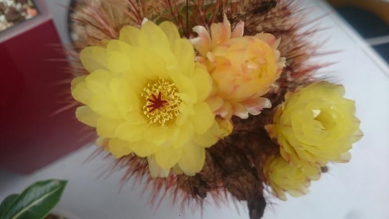 Meine Kakteenblüten Dsc_0530