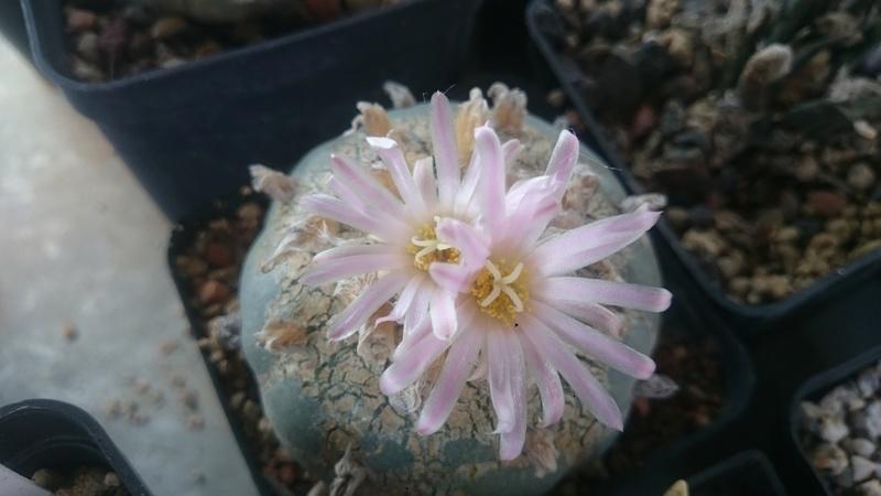 Meine Kakteenblüten Dsc_0547