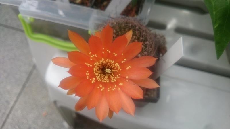 Meine Kakteenblüten Dsc_0550