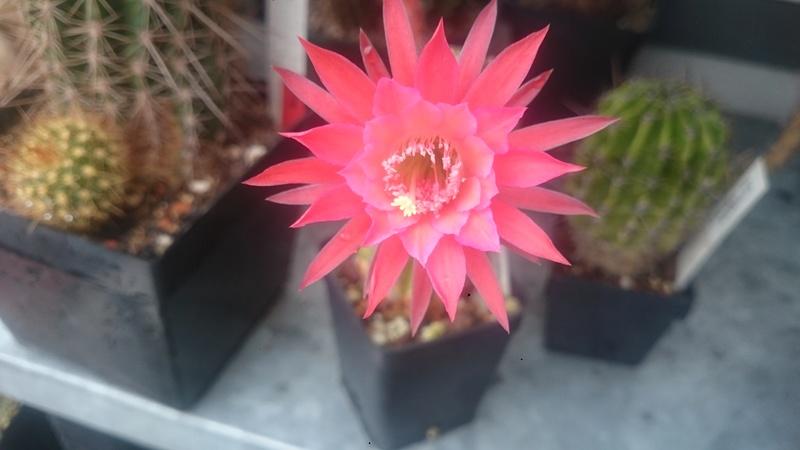 Meine Kakteenblüten Dsc_0554