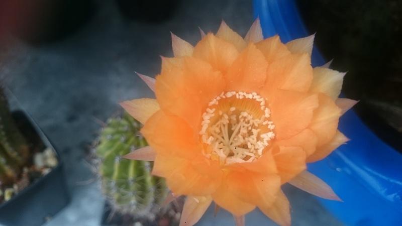 Meine Kakteenblüten Dsc_0556