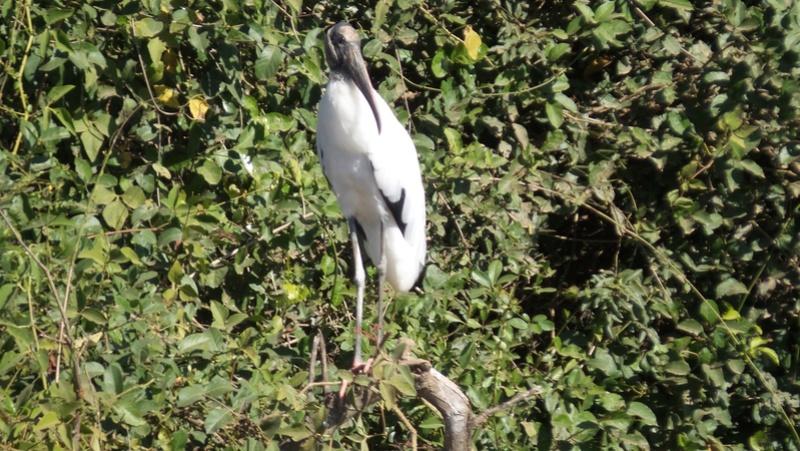 Le 22.06.2017 Le Pantanal Nord. Cabeya10