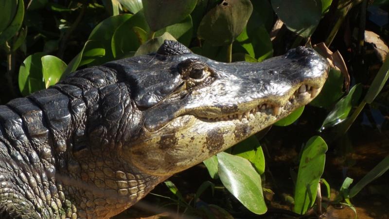 Le 22.06.2017 Le Pantanal Nord. Caiman10