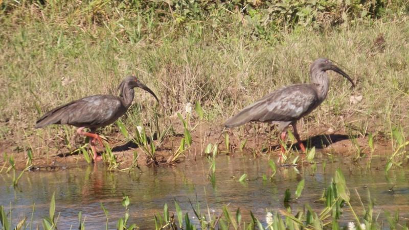 Le 22.06.2017 Le Pantanal Nord. Curica10