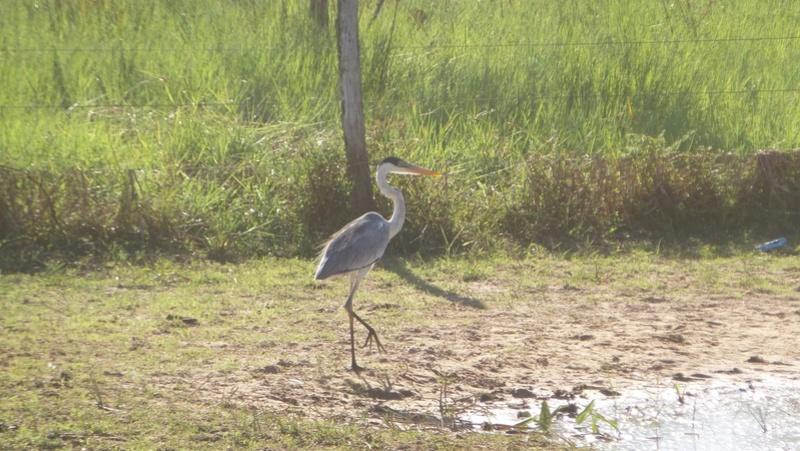 Le 22.06.2017 Le Pantanal Nord. Garya_10