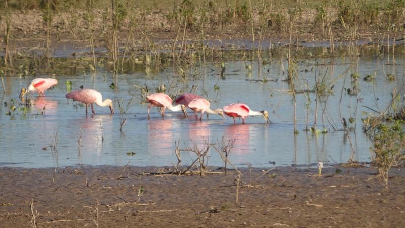 Le 22.06.2017 Le Pantanal Nord. Spatul10