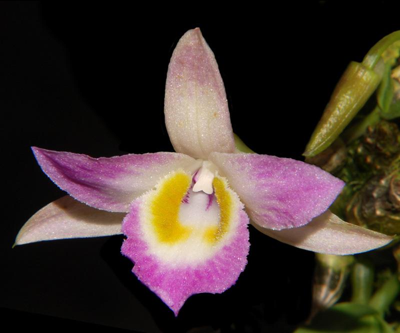 Dendrobium hekouense Dendro12