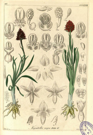 REICHENBACH ORCHIDEES 1850  Captur10