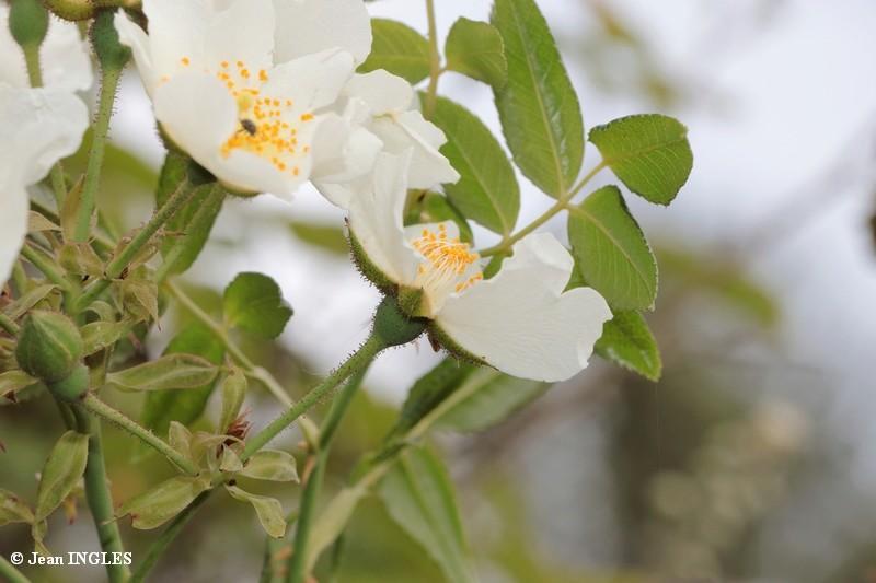 Identification fleurs du Var 17_80d25