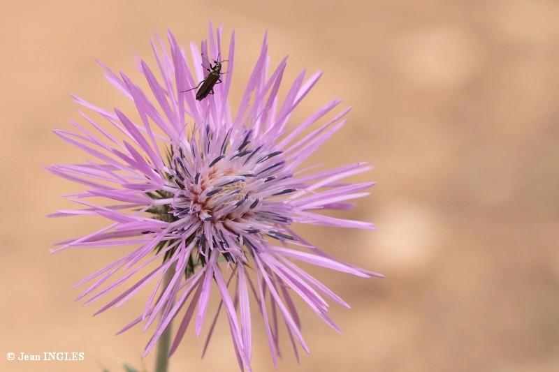 Identification fleurs du Var 17_80d31